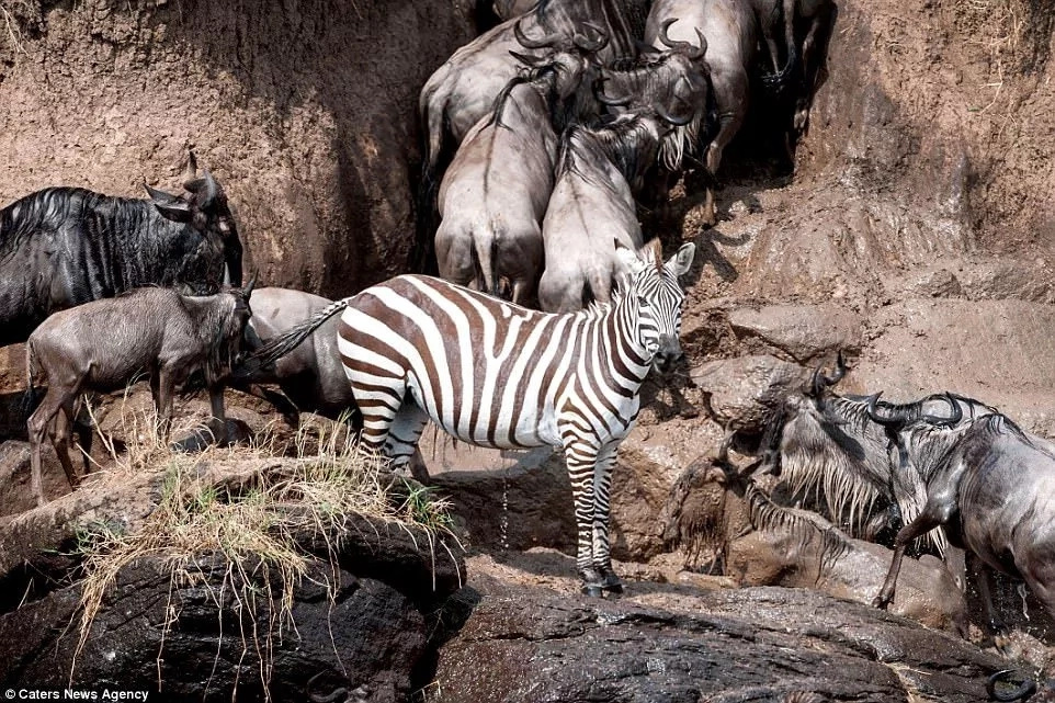 Success! The zebra finally crossed the river. Photo: Caters News Agency