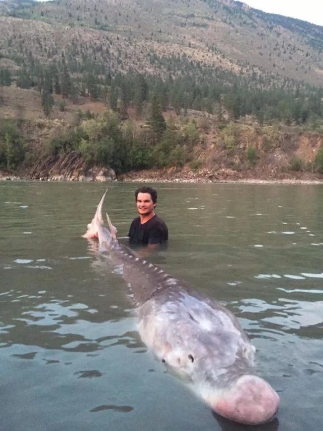 300-kilogram sturgeon was caught in Canada (Video)