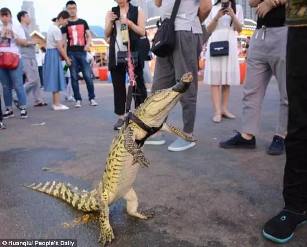Some crocsteak anyone? Man walks his crocodile in the streets, but guess what what happened next (photos)
