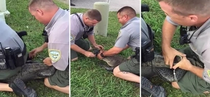Arrested! See bizarre moment crocodile is HANDCUFFED for trespassing (photos, video)
