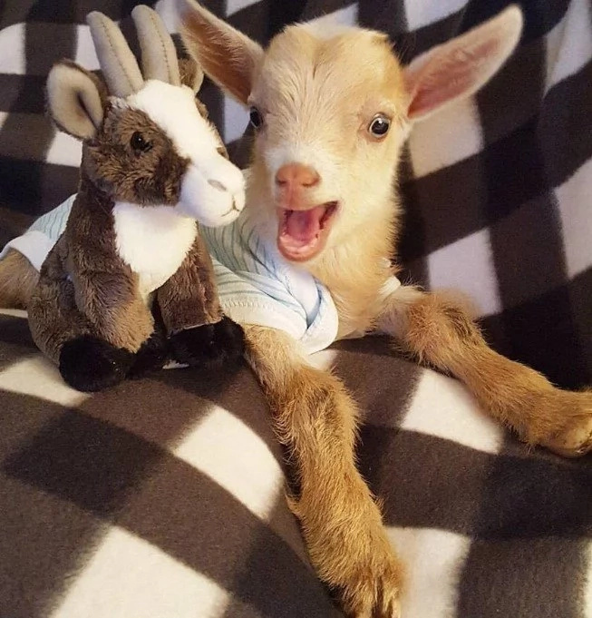 Goat Born Without Back Legs Finds The Perfect Mom To Raise Him