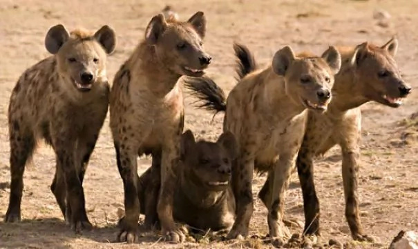 Naivasha residents up in arms after hyenas exume and eat bodies