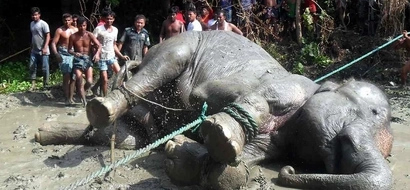 Elephant's heart gives out after walking more than 1,600km back to Bangladesh