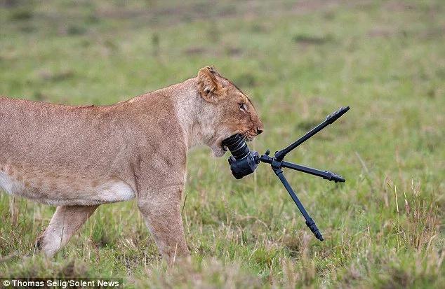 Lions destroy photographer's camera at Maasai Mara