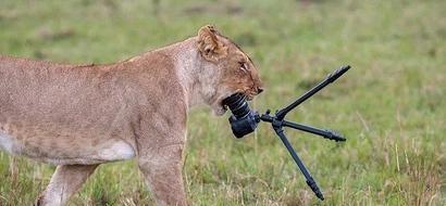 Lioness chews up a tourist's 200k camera at Maasai Mara (photos)