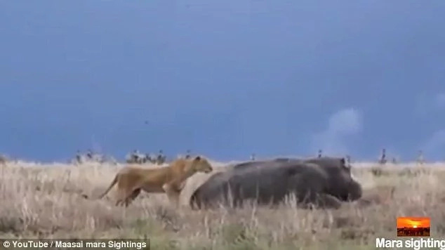 Startling moment as lioness sneaks up on sleeping hippo, only to regret moments later