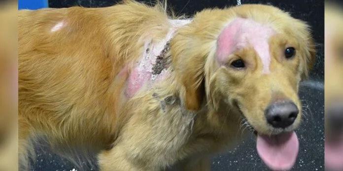 Perro con heridas químicas lucha por aceptar amor
