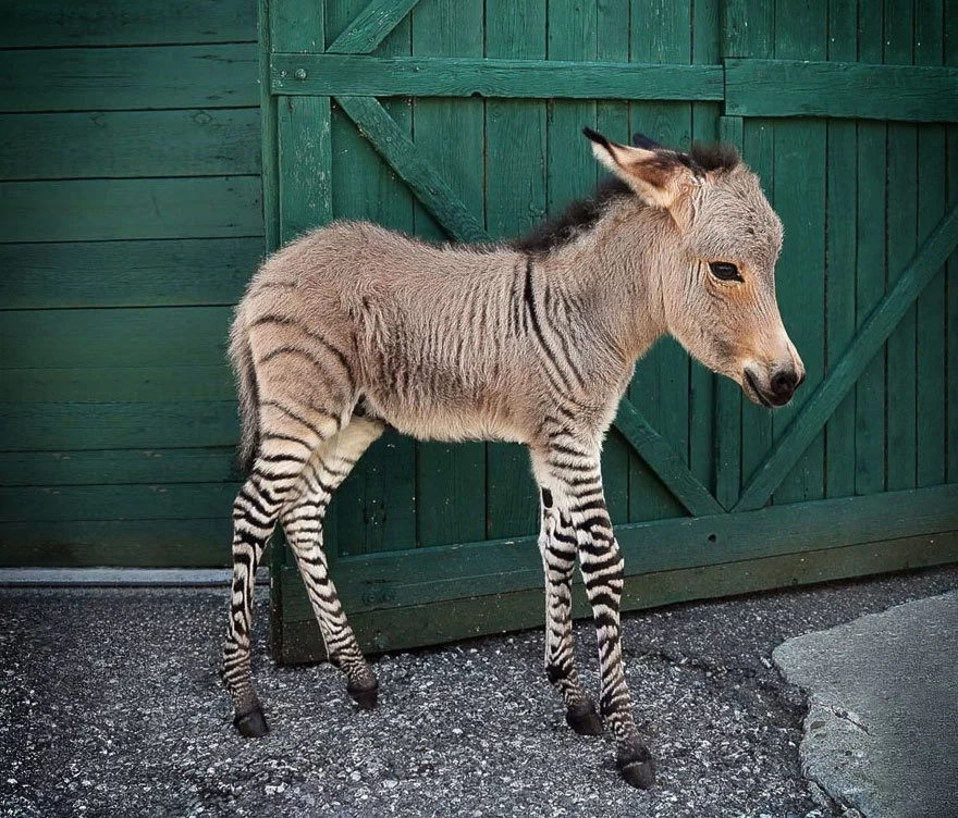 Cute Baby Hybrid Between A Donkey And A Zebra Will Melt Your Heart