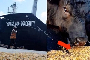 Finally, maize from Russia and Ukraine arrives in Kenya but is it intended for cows? (photos)