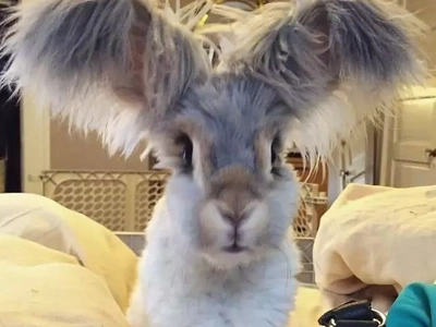 Meet Wally, the Angora rabbit with the biggest, most amazing bunny ears!