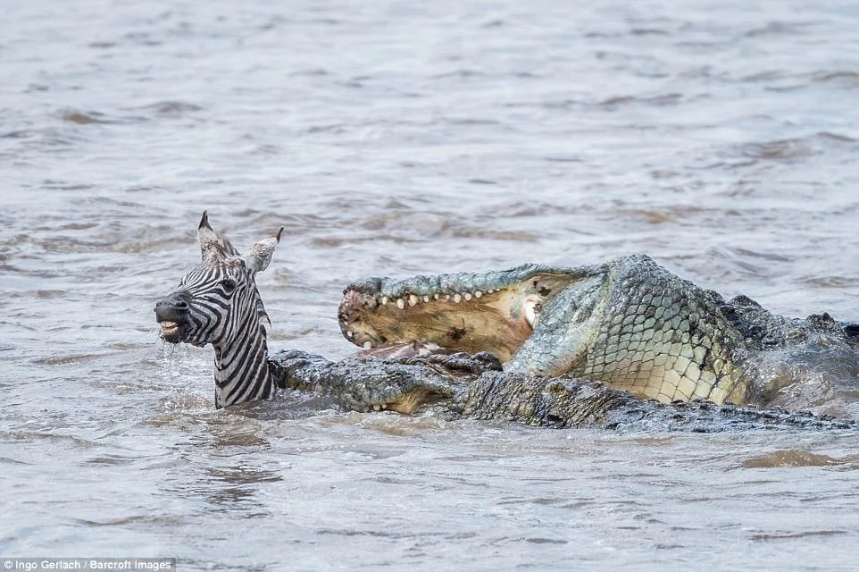 Bloody moment as hungry crocodiles gobble a baby zebra as it crosses a river