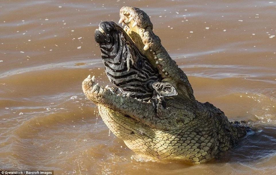 See horrifying moment crocodile swallows big zebra whole (photos)