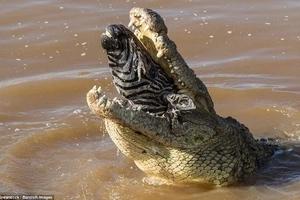 See horrifying moment crocodile swallows big zebra WHOLE in Kenya (photos)