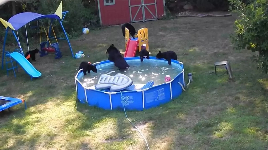 Adorable bear family caught chilling in pool