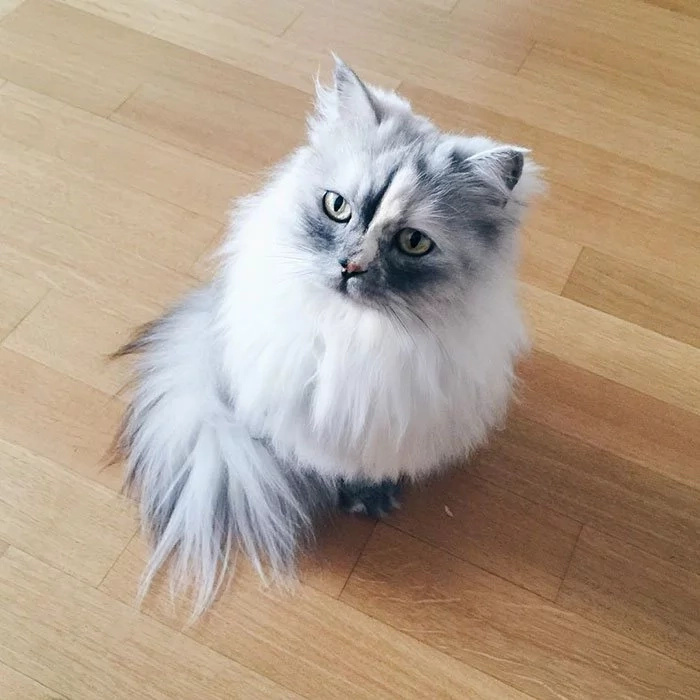 Mira la gata adoptada con el pelaje más hermoso del mundo