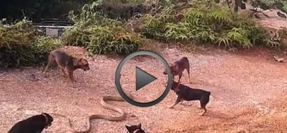 VIDEO: Top 3 scariest clips of deadly SNAKES fighting other animals!