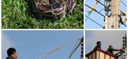 Rescuers engage in 2 hours of deadly tug of war with 3 meter PYTHON (photos,video)