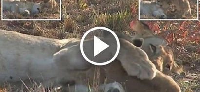 Cute cub dares to wake up this fearsome lioness, but instead of being angry she HUGS him