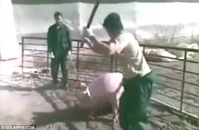 Trabajadores golpearon a cerdas embarazadas pero no van a la cárcel