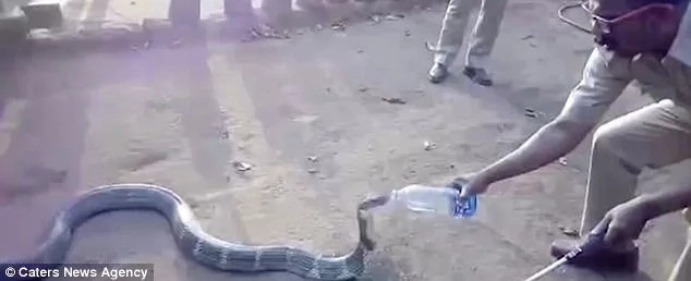 Brave villagers offer water to thirsty king COBRA suffering from drought (photos, video)