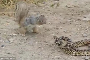 Squirell Kills Snake in Epic Battle, Then EATS IT ALIVE!