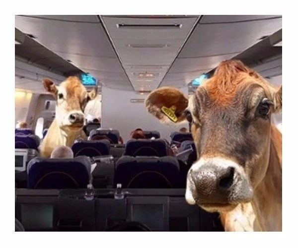 Businessman takes desperate measure of import 4000 dairy cows by plane