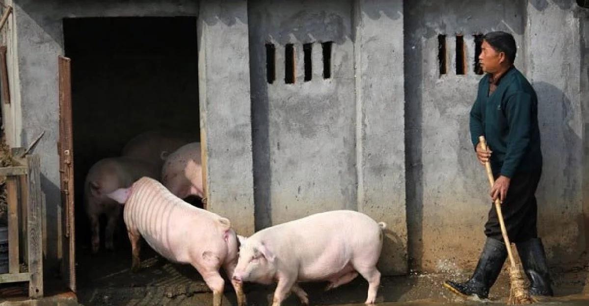 china-pigs