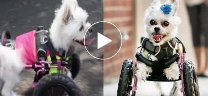 Sobrang cute! Dog with no front legs uses genius wheels to move around