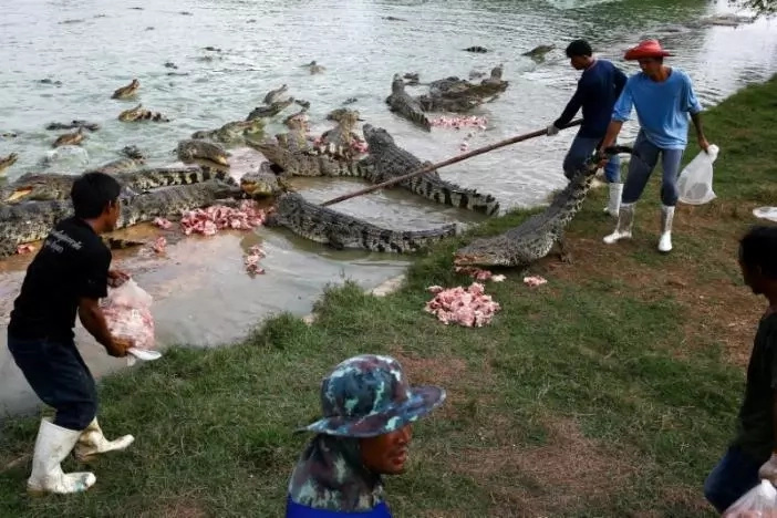 Looking for crocodile leather suit? Thailand has the biggest crocodile farms producing luxury products