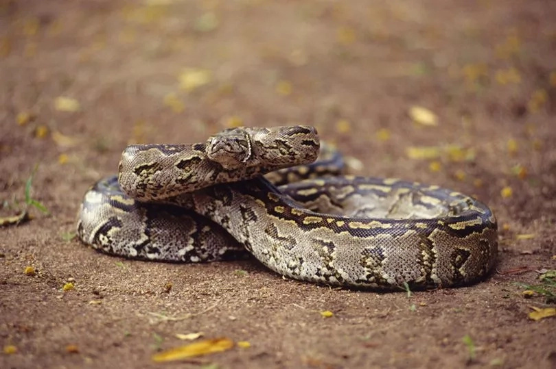An African Rock Python escaped from a flat, forcing evacuation of residents. Photo: Getty