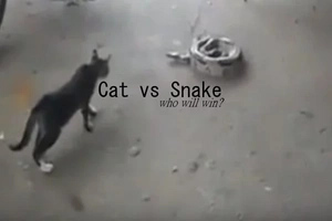 Cat vs. snake battle: Who will win?