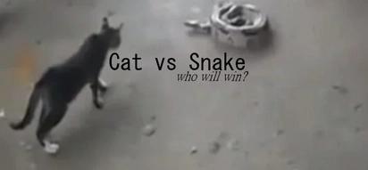 Cat vs. snake battle: Who will win?