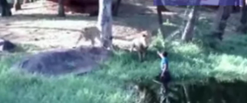 Drunk Asian Attempts to High Five a Lion After Entering Enclosure, But...