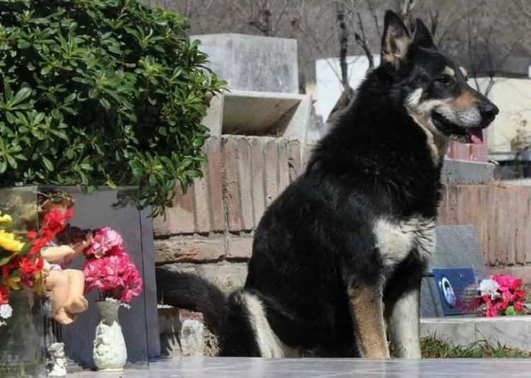 Meet Captain, a 15-year-old dog that has been staying by his owner's grave for 10 years