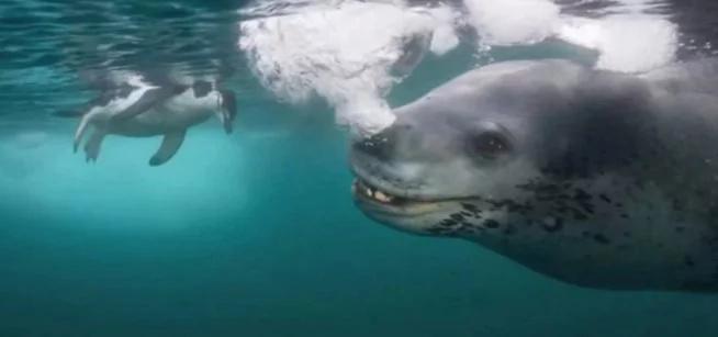 Este leopardo marino intenta alimentar al fotógrafo