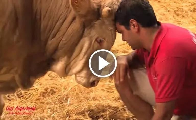 Este toro ha vivido encadenado toda su vida, mira su reacción al ser rescatado