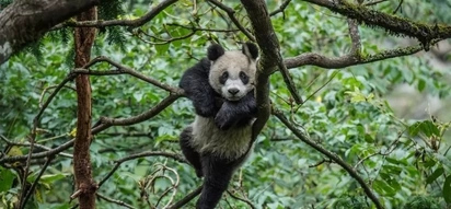 GOOD NEWS: More PANDAS are back in the wild!