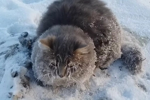 A Cat Was Lucky To Be Rescued After Freezing To The Ground (Video)