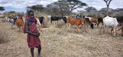 Outrage after Maasai herders are granted permission to graze COWS anywhere in Nairobi