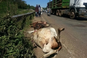 See how gang that steals cows' reproductive organs will be punished