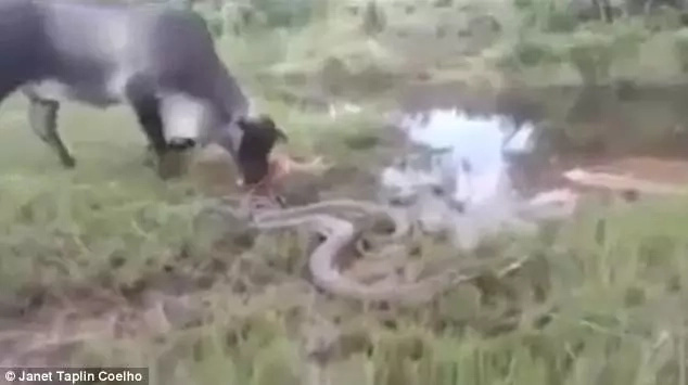 The mother cow tries to use its head and hooves against the anaconda