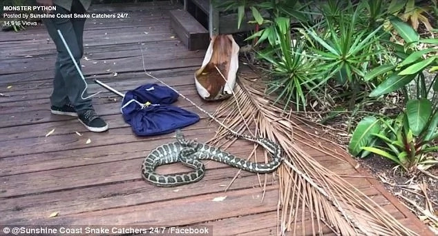 The snake tried struck at the snake catcher several times but he expertly avoided it