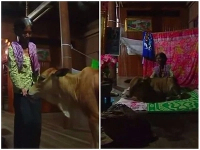 Bizarre! Widow stays with 5-month-old calf in her house because she believes it's her husband's new body