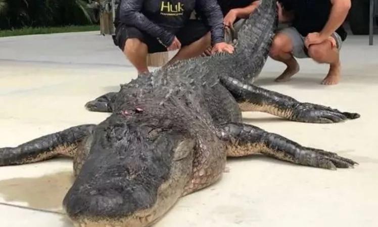 Record breaking! 3 daredevil hunters, track, catch and kill the biggest alligator ever caught