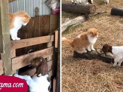 Tierno gato ayudó a una cabra a dar a luz y ahora cuida de las pequeñas crías