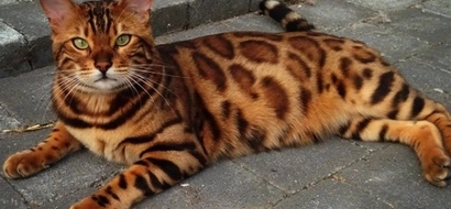 Meet the Bengal cat who looks just like a miniature tiger