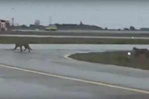 La aparición de pumas en el aeropuerto de Punta Arenas dejó impactados a los usuarios en las redes