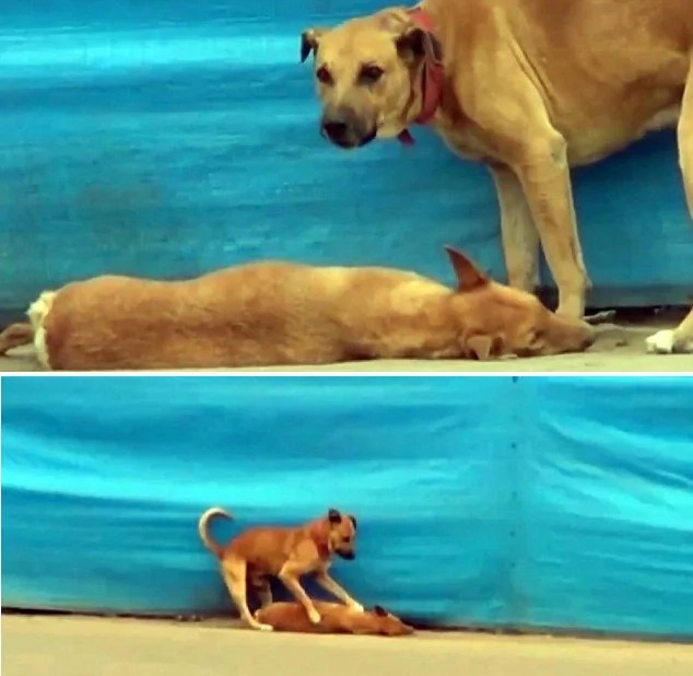 Passionate dog won't leave his lifeless soulmate, tries to revive him