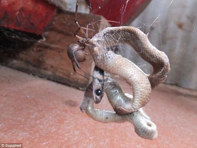 Spider traps a huge snake with its web, and it's stunningly epic!