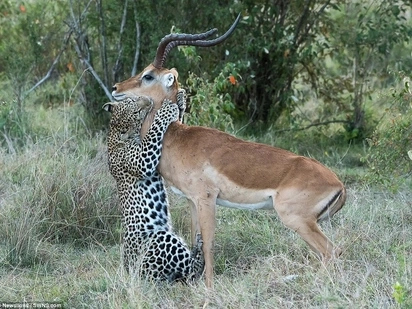 Kiss of death! See incredible moment leopard HUGS impala before sinking teeth in its neck (photos)
